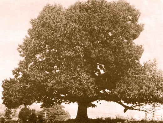 historical picture of an American Chestnut tree